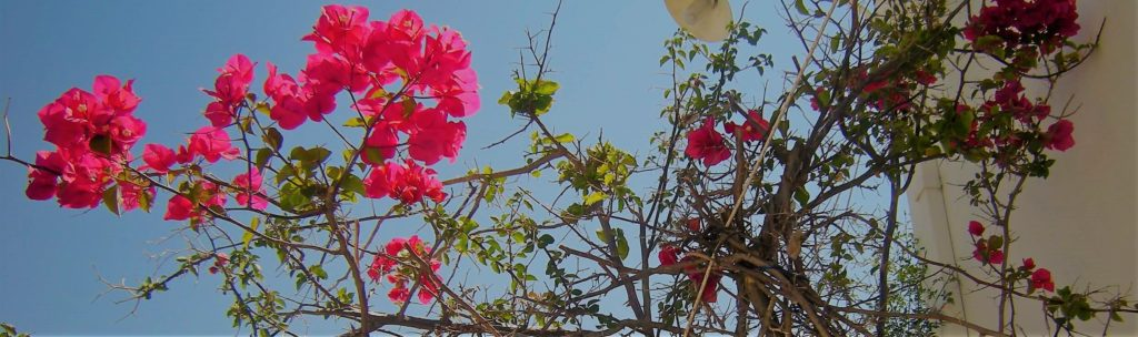 skopelos, cvet