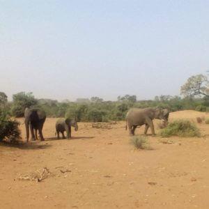 porodica, slonova