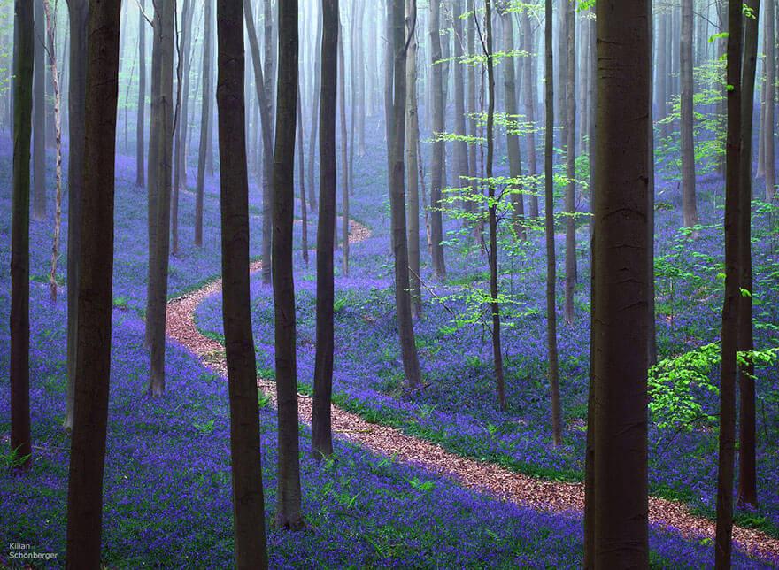 Čudesna šuma Hallerbos u Belgiji prekrivena divljim zumbulima