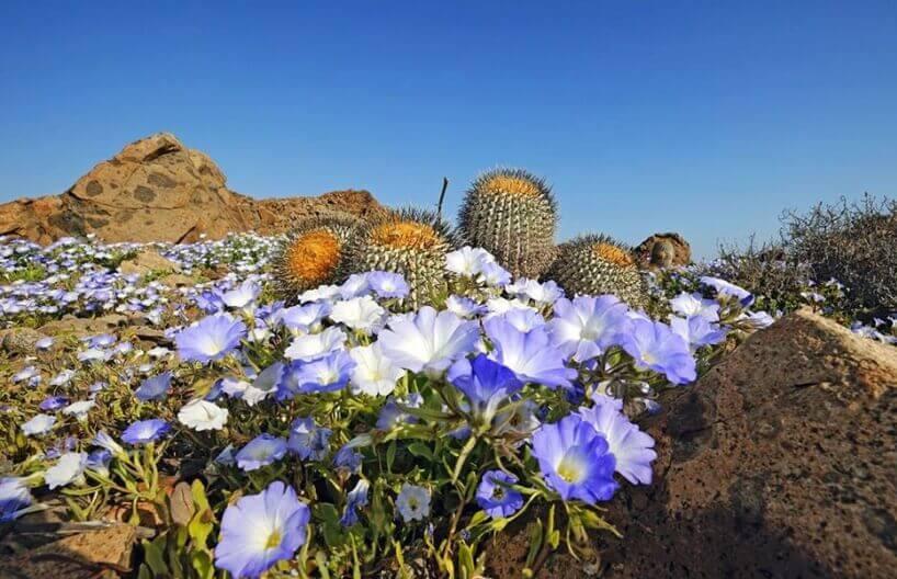 Cvetne doline pustinje Atakama