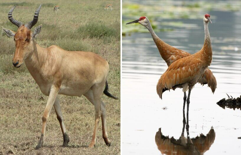 Retka vrsta antilope i par afričkih ždralova